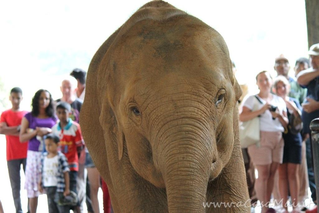 Pinnawala Elephant Orphanage, uno speciale orfanotrofio in Sri Lanka