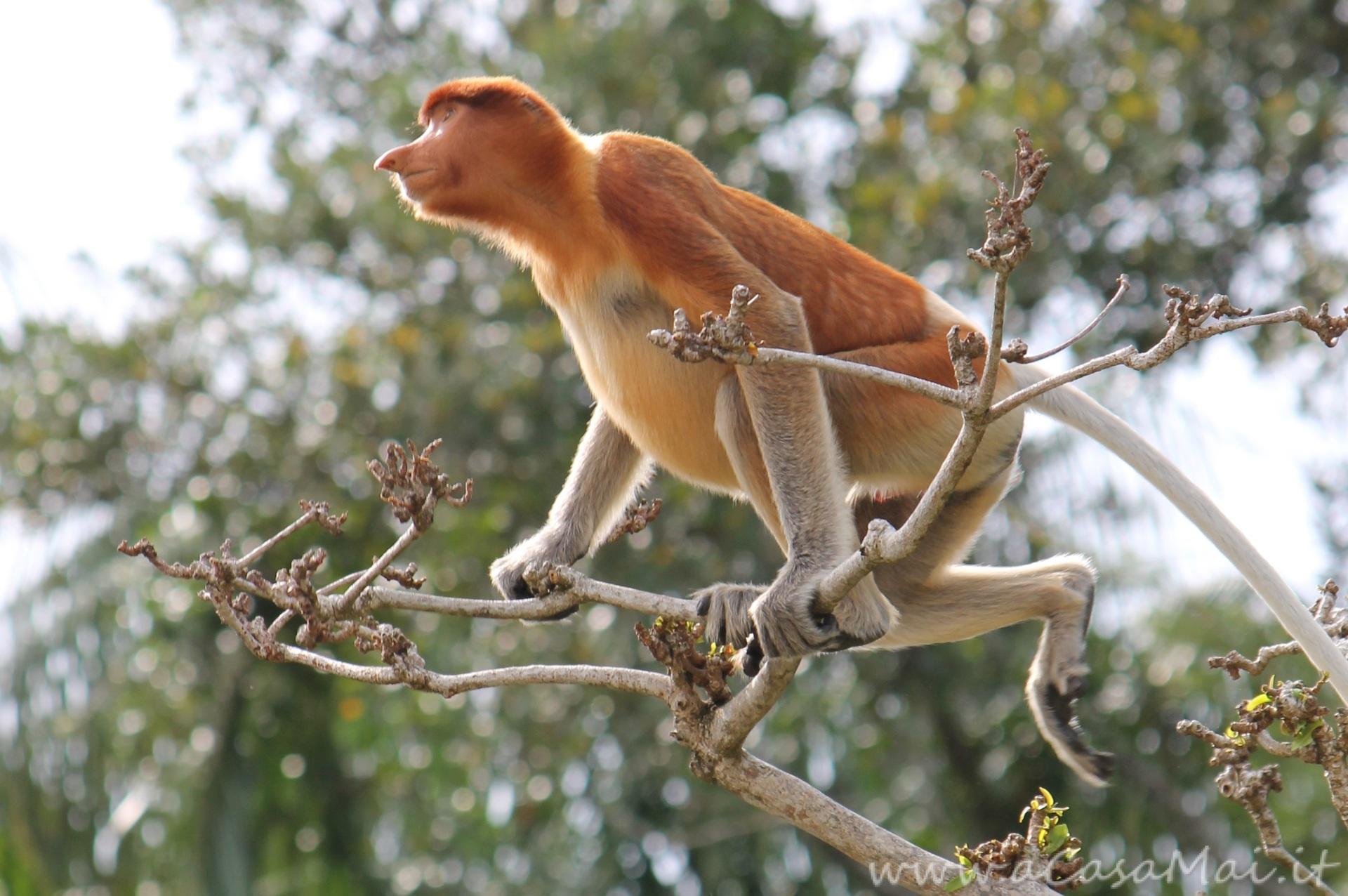Nasica_del_Borneo