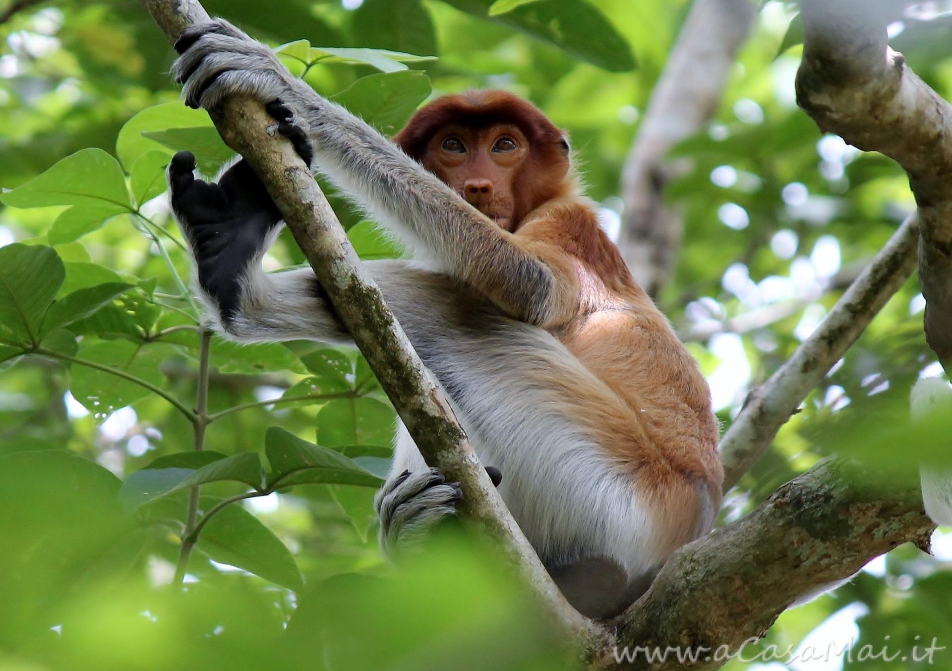 Nasica_del_Borneo_al_Bako_National_Park