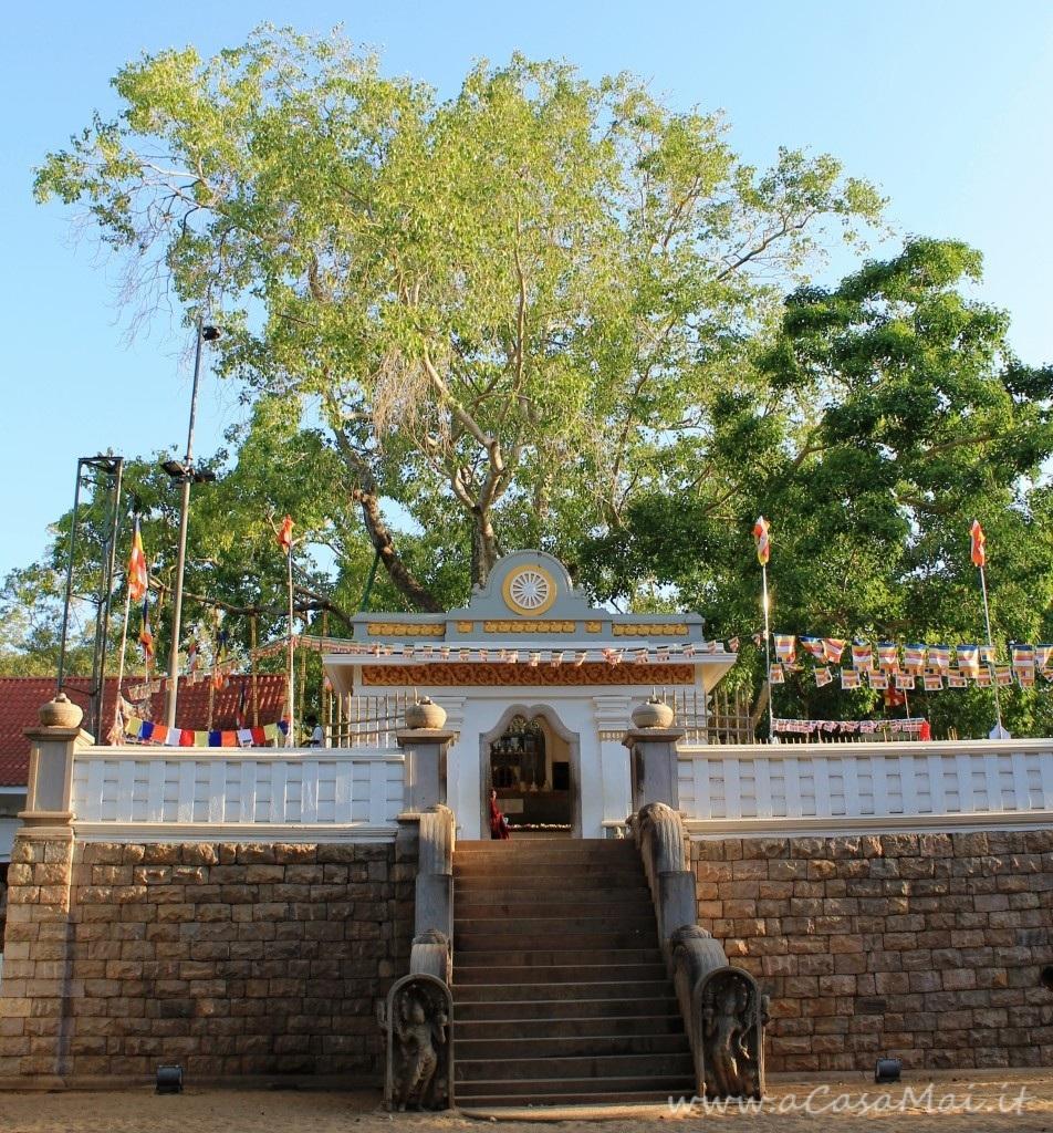 Sri Maha Bodhi, albero di ficus religiosa in Sri Lanka
