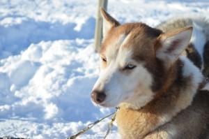 Husky in Norvegia - © Fabio Santacaterina (@bohemien86 su instagram)