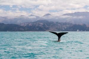 Nuova Zelanda, balena a Kaikoura (1024x683)