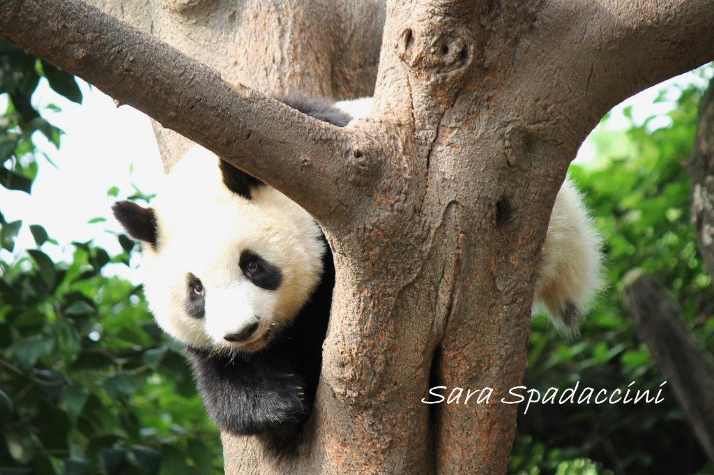 vacanze ad aprile Chengdu 2